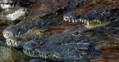 8673e6ee3ad 27mar2014---grupo-de-crocodilos-do-nilo-aguarda-